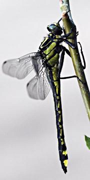 External anatomy of a Dragonfly Larvae | dragonflies | Pinterest ...
