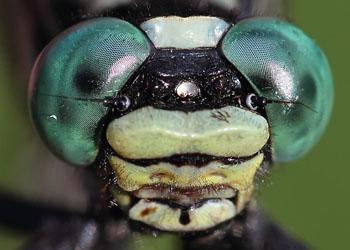 Dragonfly Biology | MDS